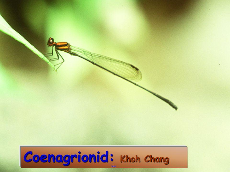 Coenagrionid: Doi Ang Khang