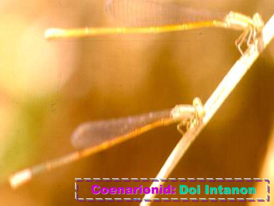 CoenagrionidaeCoenagrionidae
