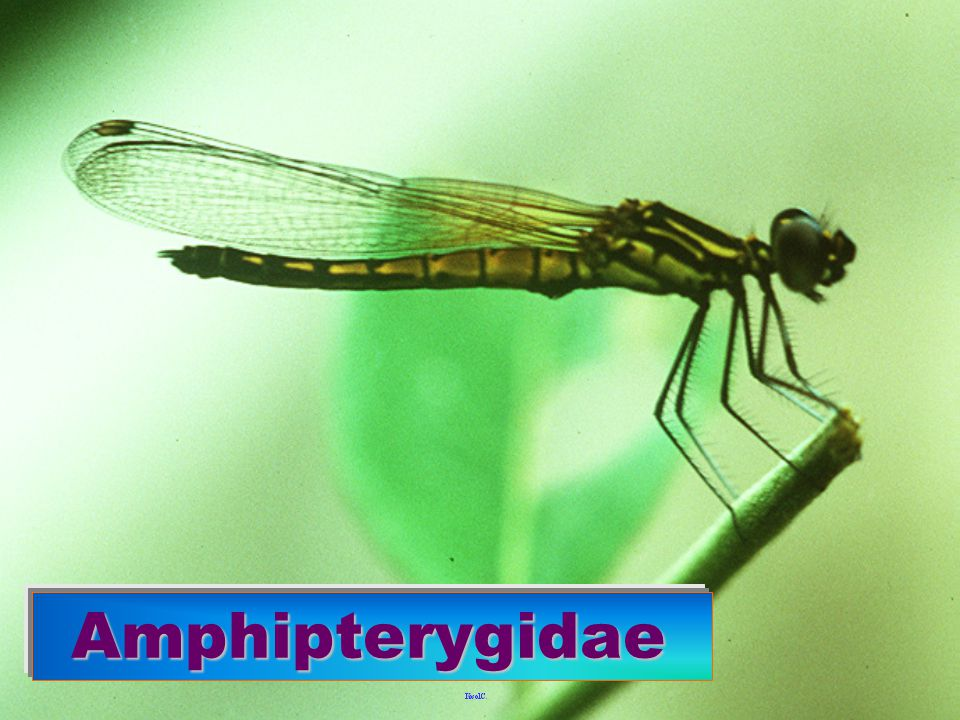 Libellago sp. Amphipterygidae