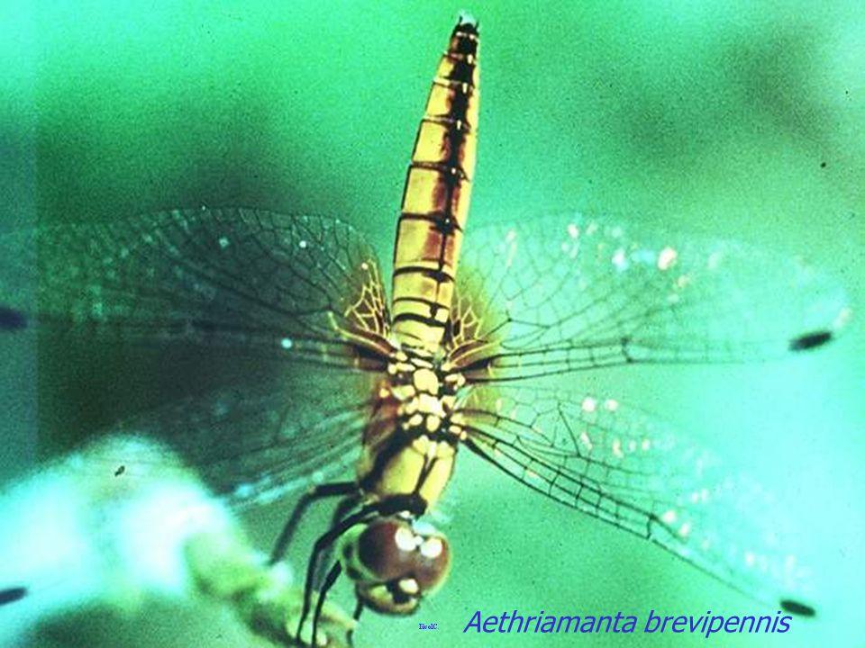 Aethriamanta aethra Libellulidae