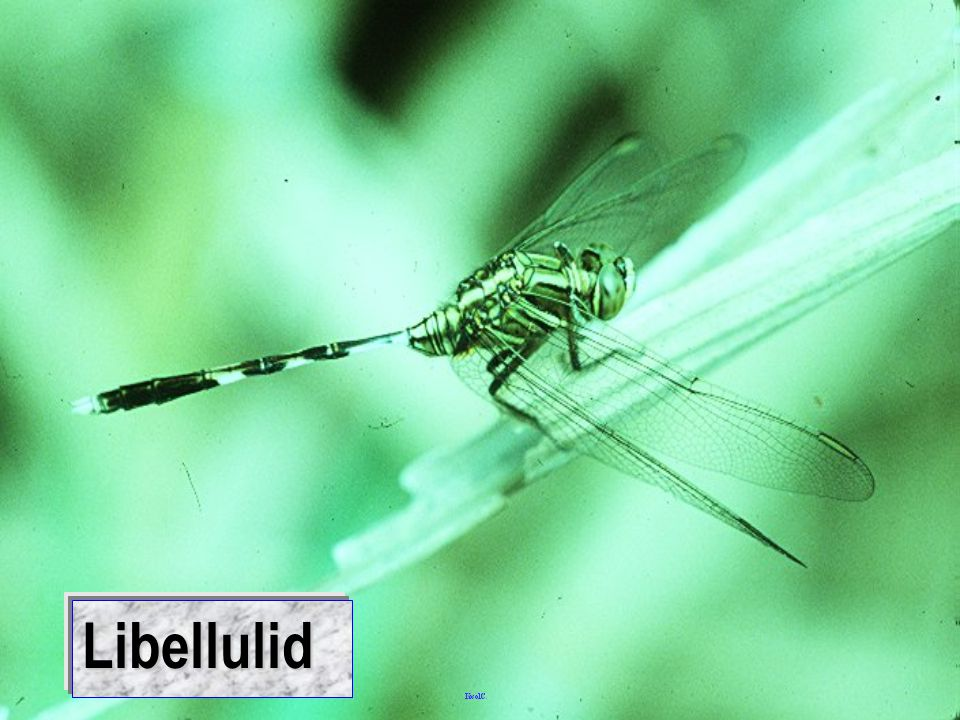 Libellulid: mating flight