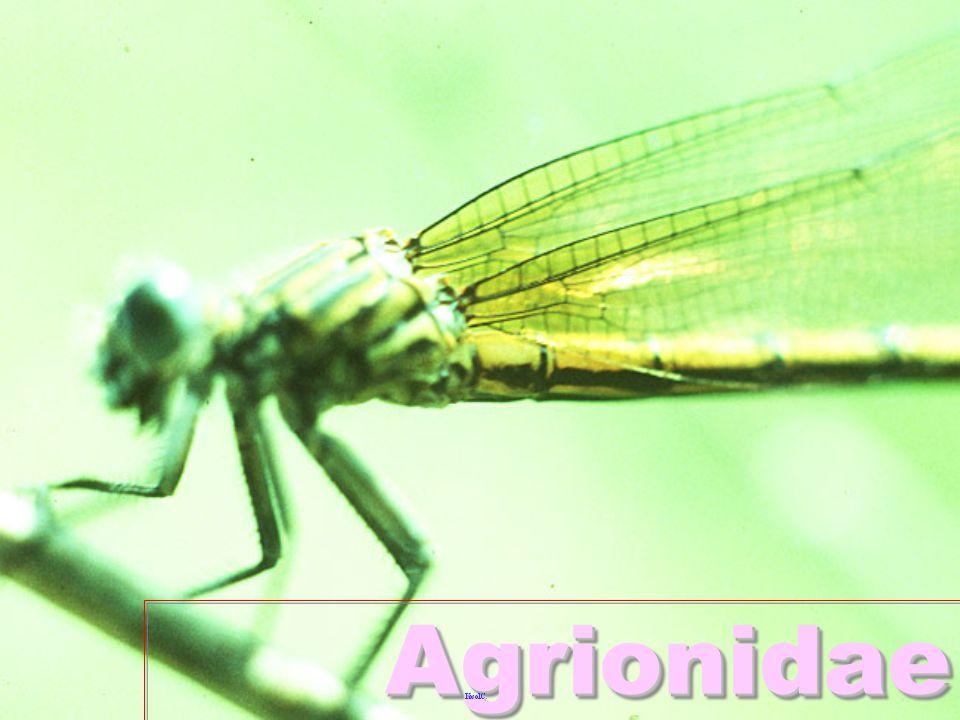 Gomphid Gomphidae