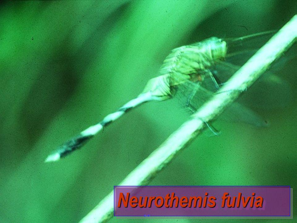 Neurothemis fluctuans
