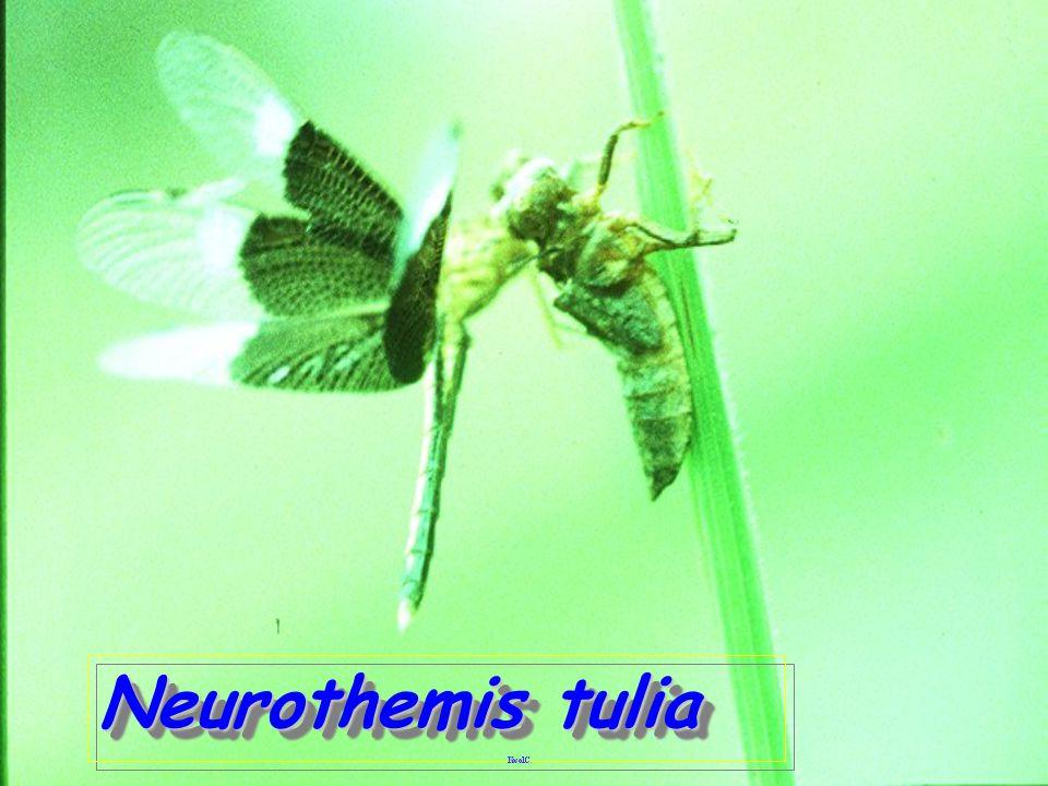 Neurothemis tulia