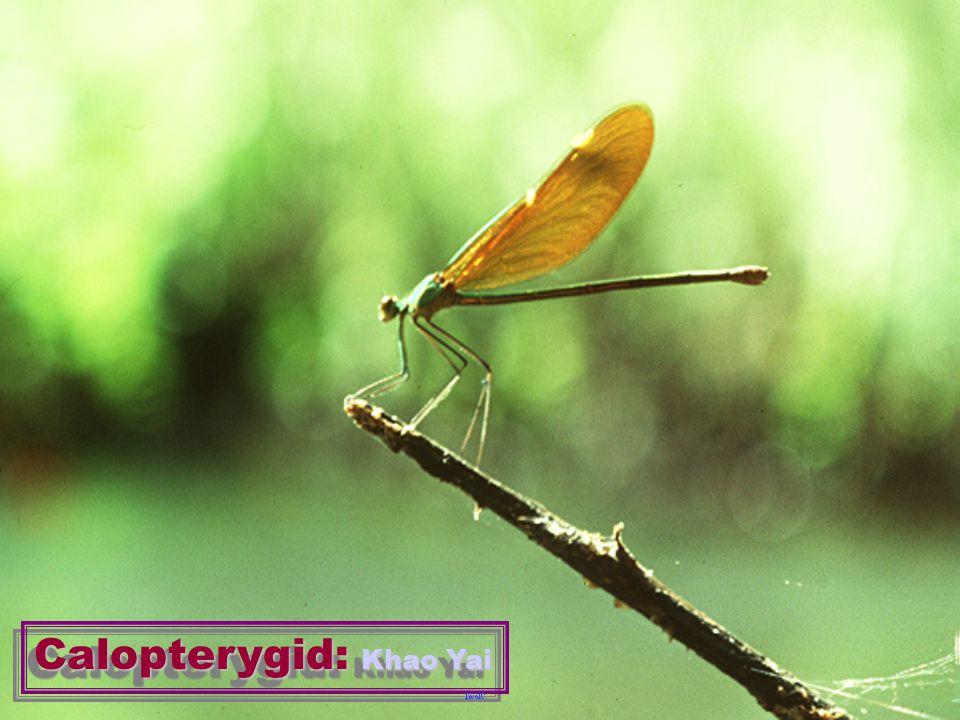 Calopterygid: Khao Yai