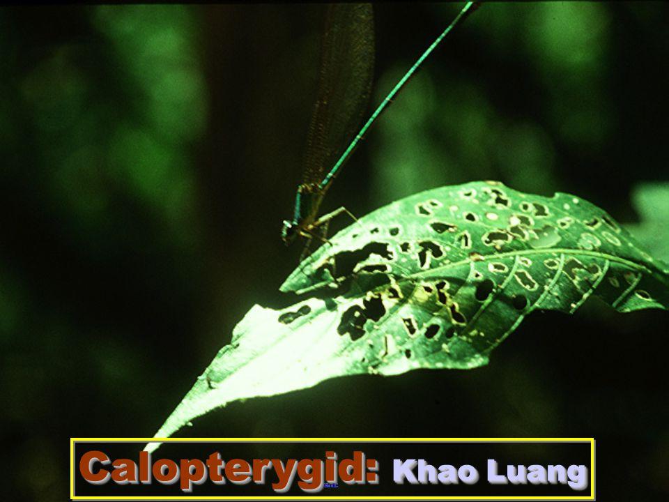 Libellulid: mating flight