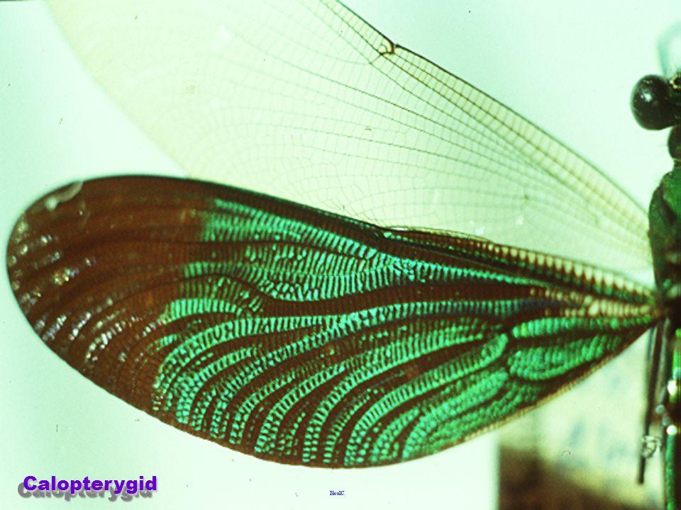 Lestidae Lestidae