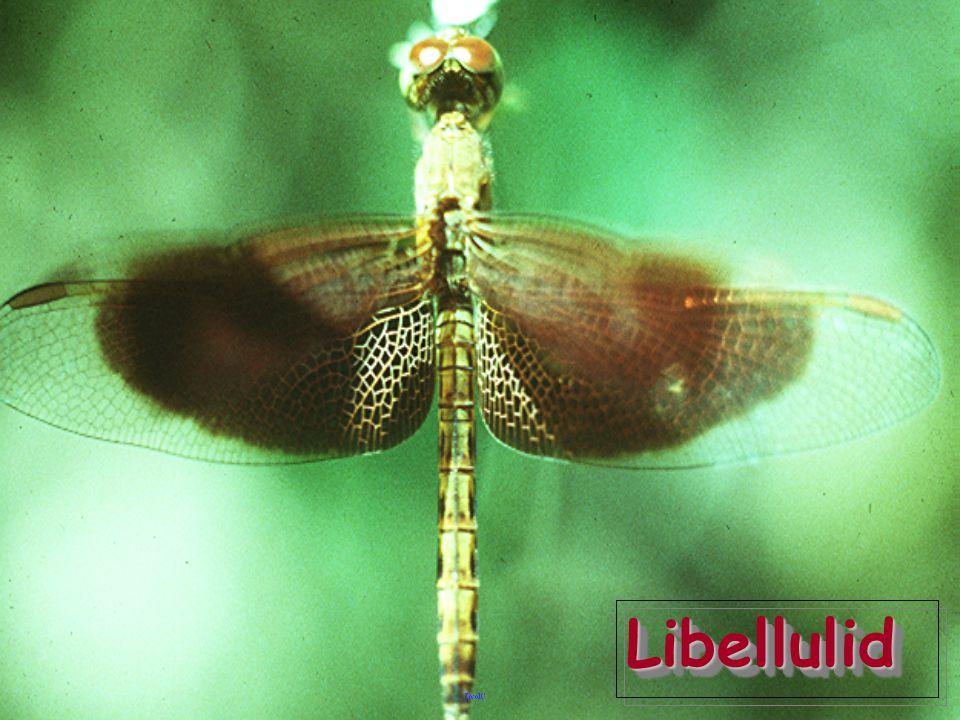 Libellulid