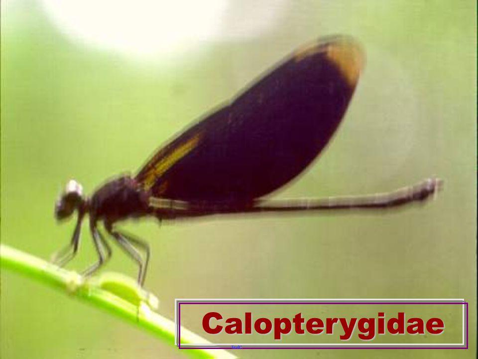 LestidaeLestidae