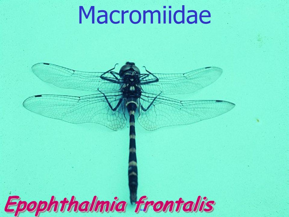 CordulegastridaeCordulegastridae Cordulegastridae
