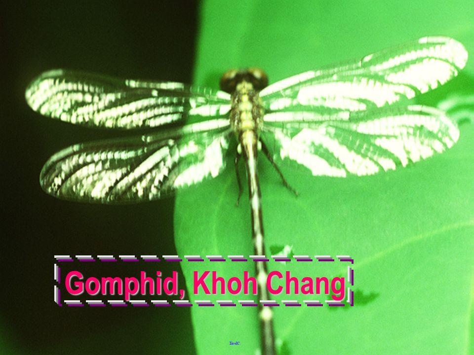 Gomphid Naiad skin