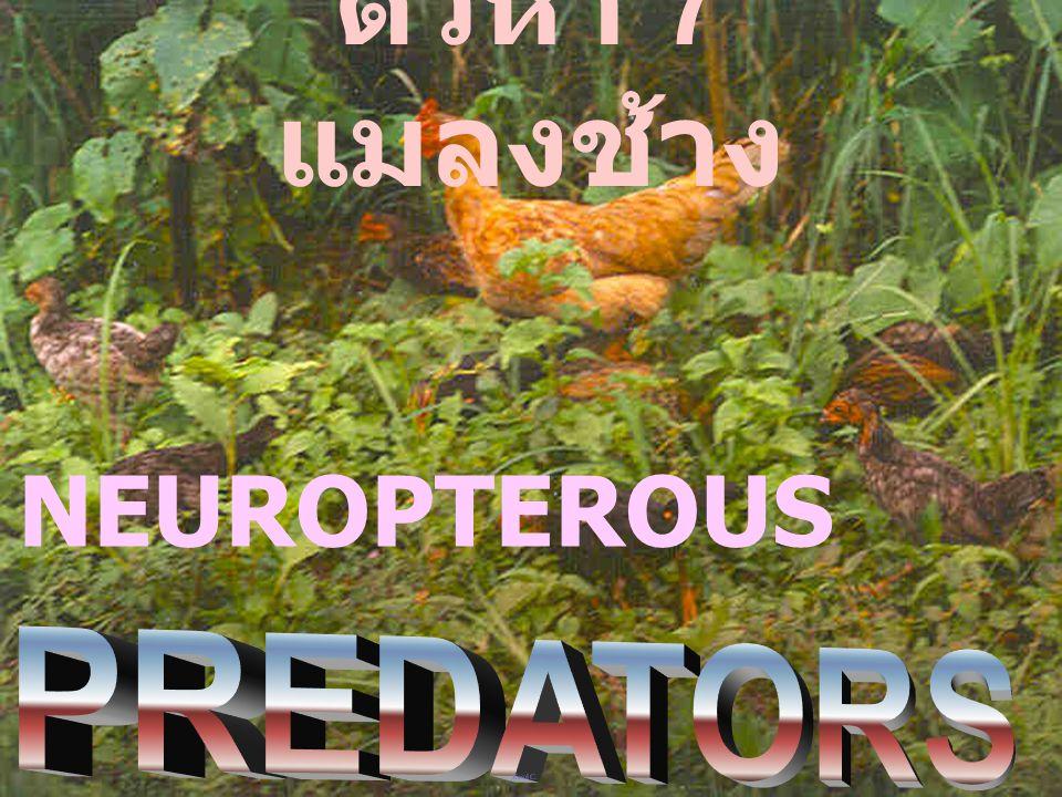 ตัวห้ำ 7 แมลงช้าง NEUROPTEROUS