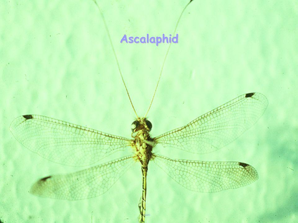 Hemerobius sp.