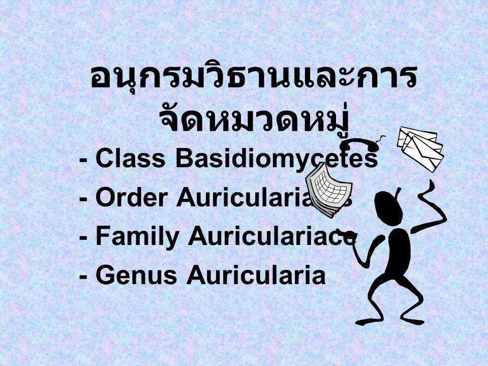 อนุกรมวิธานและการ จัดหมวดหมู่ - Class Basidiomycetes - Order Auriculariales - Family Auriculariace - Genus Auricularia