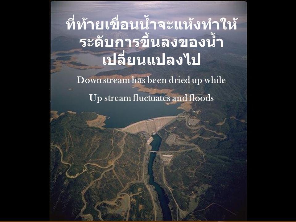 ที่ท้ายเขื่อนน้ำจะแห้งทำให้ ระดับการขึ้นลงของน้ำ เปลี่ยนแปลงไป Down stream has been dried up while Up stream fluctuates and floods