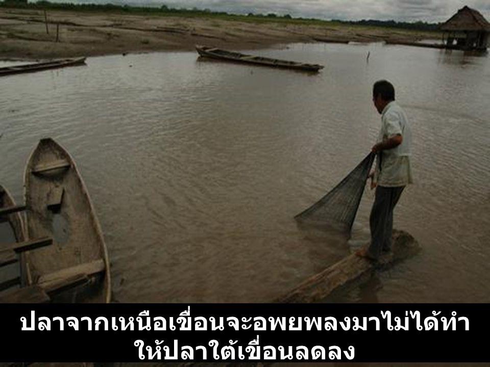 ปลาจากเหนือเขื่อนจะอพยพลงมาไม่ได้ทำ ให้ปลาใต้เขื่อนลดลง Fish from up stream can not migrate and down stream the fish are disappearing