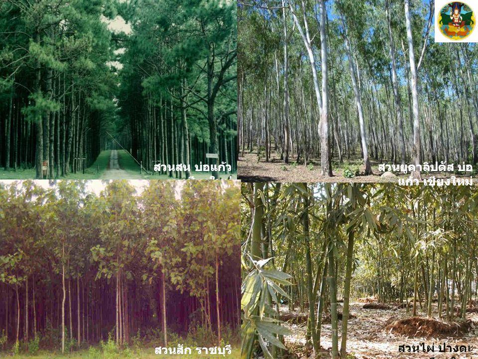 บ่อแก้ว เชียงใหม่ สวนไผ่ ปางดะ เชียงใหม่ สวนยูคาลิปตัส บ่อ แก้ว เชียงใหม่ สวนสน บ่อแก้ว เชียงใหม่ สวนสัก ราชบุรี