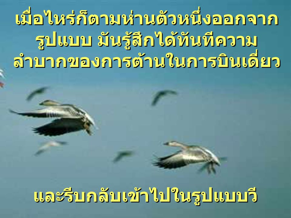 ขณะที่ห่านแต่ละตัวขยับปีกของมัน ช่วยให้ห่านที่ตาม บินไปได้ การบินแบบตัววี ทำให้ฝูง สามารถ บินได้ไกลกว่า 71% มากกว่า นกแต่ละตัวบินเดี่ยว การบินแบบตัววี