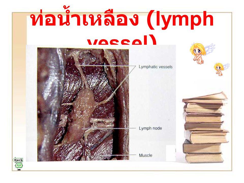 ท่อน้ำเหลือง (lymph vessel)