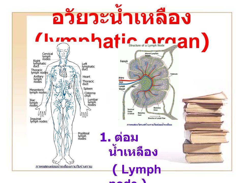 อวัยวะน้ำเหลือง (lymphatic organ) 1. ต่อม น้ำเหลือง ( Lymph node )