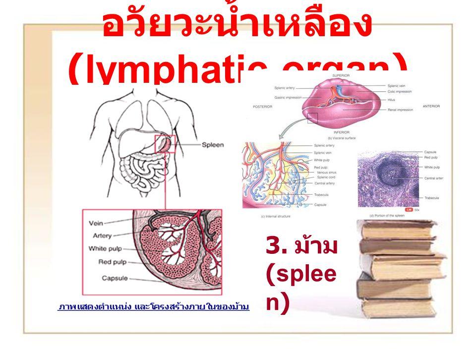 อวัยวะน้ำเหลือง (lymphatic organ) 3. ม้าม (splee n)