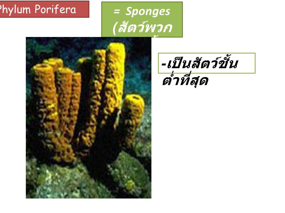 Phylum Porifera = Sponges ( สัตว์พวก ฟองน้ำ ) - เป็นสัตว์ชั้น ต่ำที่สุด