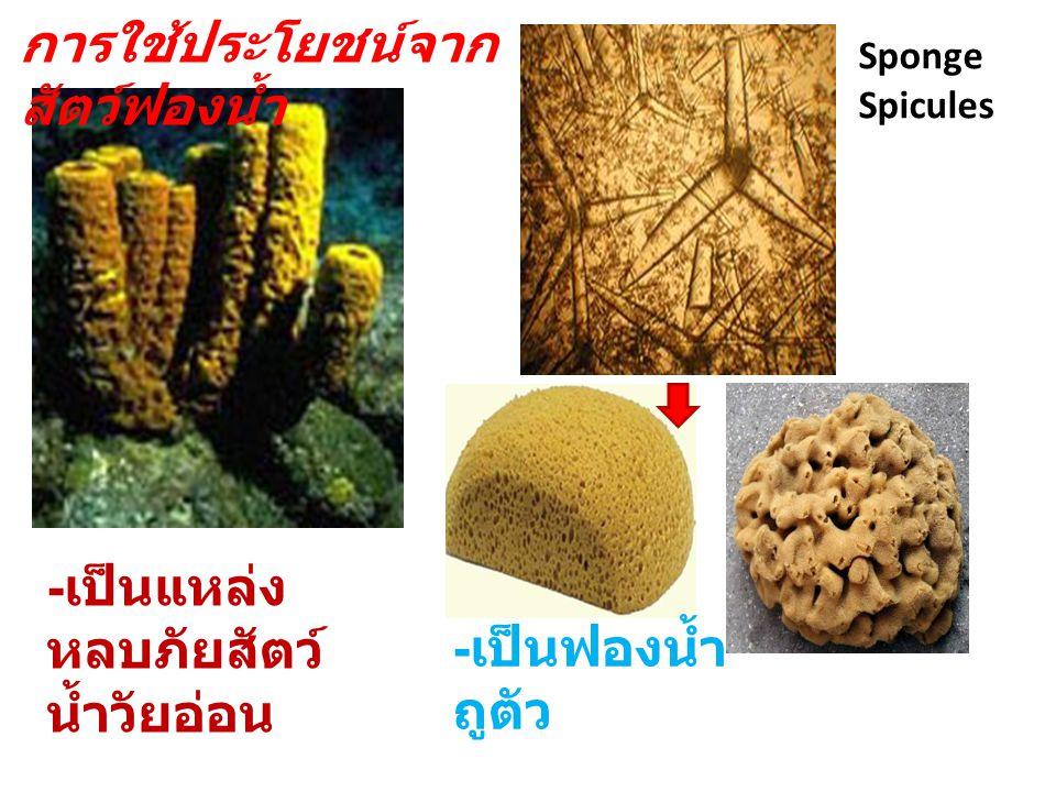 การใช้ประโยชน์จาก สัตว์ฟองน้ำ - เป็นแหล่ง หลบภัยสัตว์ น้ำวัยอ่อน Sponge Spicules - เป็นฟองน้ำ ถูตัว