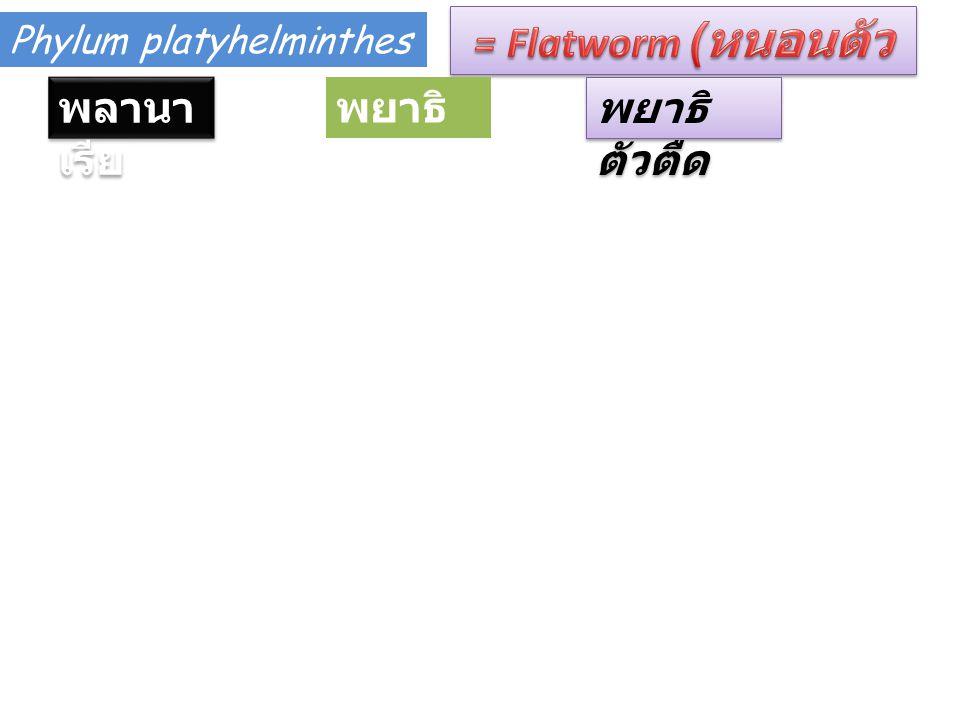 Phylum platyhelminthes พลานา เรีย พยาธิ ใบไม้ พยาธิ ตัวตืด