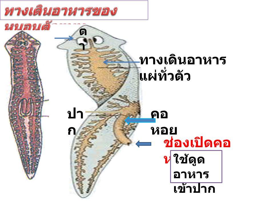 ตาตา ทางเดินอาหาร แผ่ทั่วตัว ปา ก คอ หอย ช่องเปิดคอ หอย ใช้ดูด อาหาร เข้าปาก