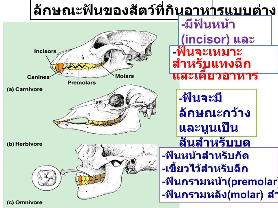 ลักษณะฟันของสัตว์ที่กินอาหารแบบต่าง ๆ - ฟันจะมี ลักษณะกว้าง และนูนเป็น สันสำหรับบด อาหาร - ฟันหน้าสำหรับกัด - เขี้ยวไว้สำหรับฉีก - ฟันกรามหน้า (premol