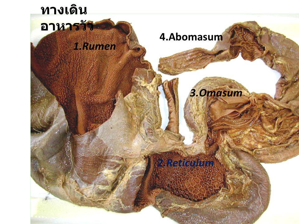 31 ทางเดิน อาหารวัว 1.Rumen 2.Reticulum 3.Omasum 4.Abomasum
