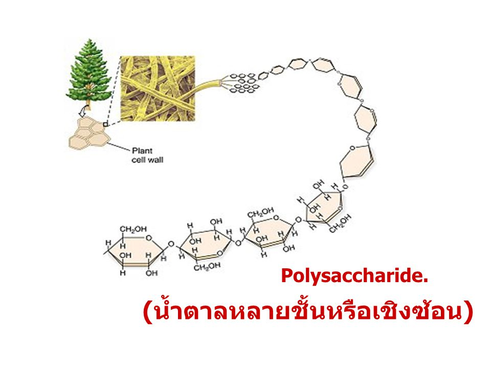Polysaccharide. (น้ำตาลหลายชั้นหรือเชิงซ้อน)
