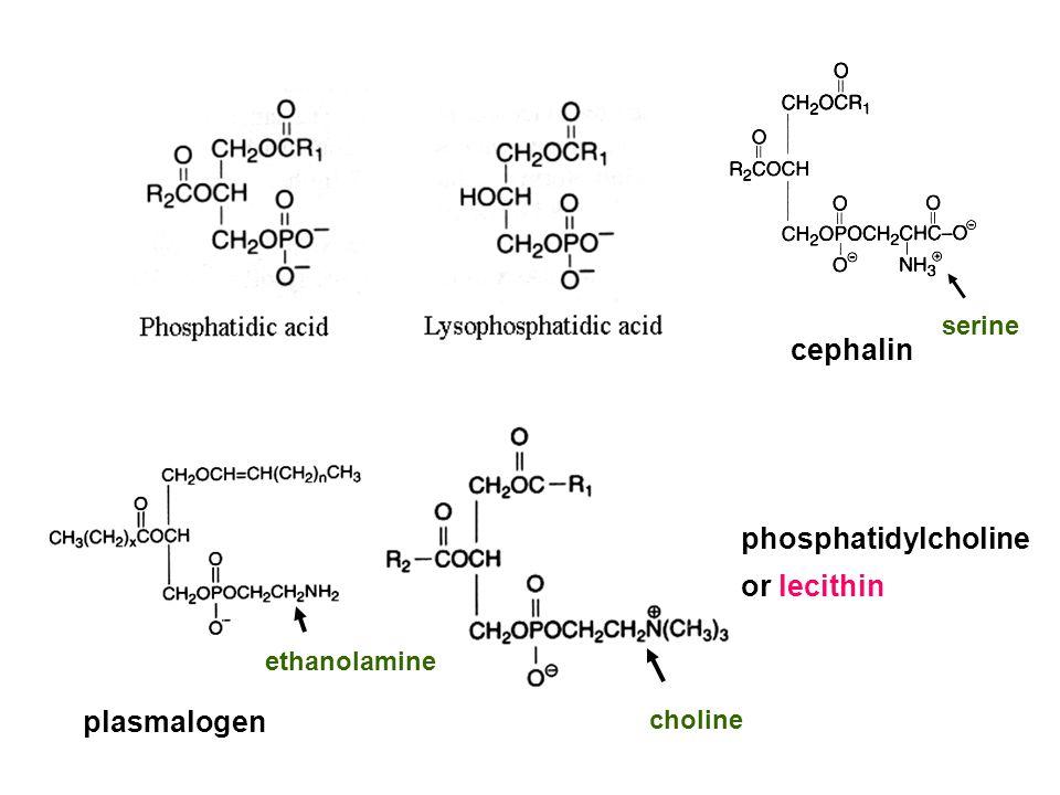 phosphatidylcholine or lecithin choline plasmalogen ethanolamine cephalin serine