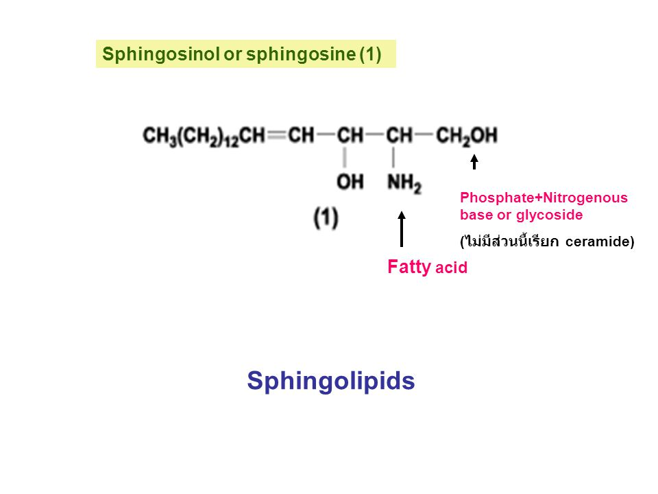 Sphingosinol or sphingosine (1) Fatty acid Phosphate+Nitrogenous base or glycoside ( ไม่มีส่วนนี้เรียก ceramide) Sphingolipids