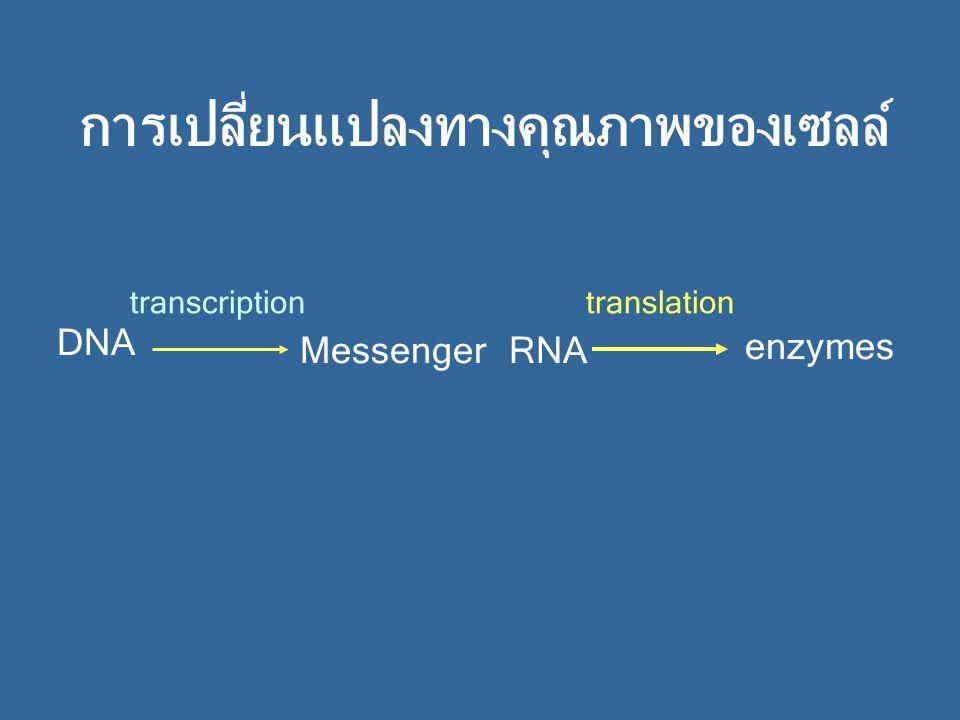 การเปลี่ยนแปลงทางคุณภาพของเซลล์ translationtranscription DNA MessengerRNA enzymes