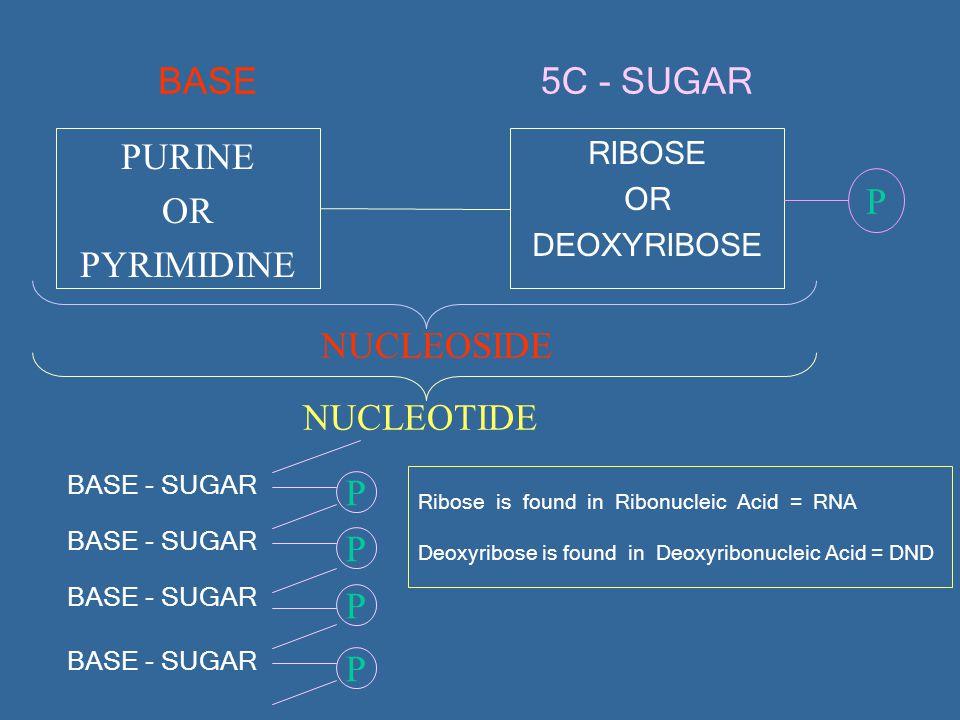 BASE PURINE OR PYRIMIDINE RIBOSE OR DEOXYRIBOSE 5C - SUGAR P NUCLEOSIDE BASE - SUGAR NUCLEOTIDE PPPP BASE - SUGAR Ribose is found in Ribonucleic Acid = RNA Deoxyribose is found in Deoxyribonucleic Acid = DND
