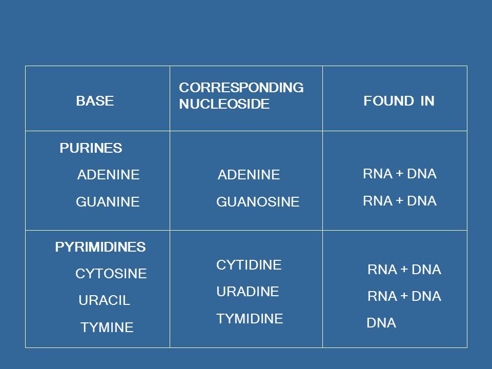 BASE CORRESPONDING NUCLEOSIDE FOUND IN PURINES ADENINE GUANINE ADENINE GUANOSINE RNA + DNA PYRIMIDINES CYTOSINE URACIL TYMINE CYTIDINE URADINE TYMIDINE RNA + DNA DNA