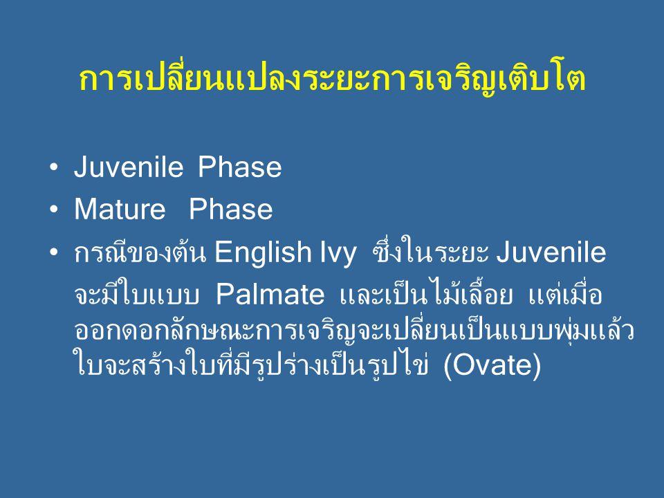 การเปลี่ยนแปลงระยะการเจริญเติบโต Juvenile Phase Mature Phase กรณีของต้น English Ivy ซึ่งในระยะ Juvenile จะมีใบแบบ Palmate และเป็นไม้เลื้อย แต่เมื่อ ออกดอกลักษณะการเจริญจะเปลี่ยนเป็นแบบพุ่มแล้ว ใบจะสร้างใบที่มีรูปร่างเป็นรูปไข่ (Ovate)