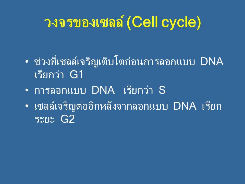 วงจรของเซลล์ (Cell cycle) ช่วงที่เซลล์เจริญเติบโตก่อนการลอกแบบ DNA เรียกว่า G1 การลอกแบบ DNA เรียกว่า S เซลล์เจริญต่ออีกหลังจากลอกแบบ DNA เรียก ระยะ G
