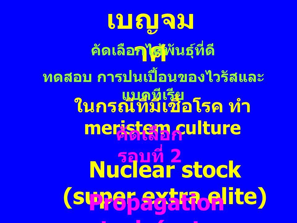 เบญจม าศ คัดเลือกได้พันธุ์ที่ดี ทดสอบ การปนเปื้อนของไวรัสและ แบคทีเรีย ในกรณีที่มีเชื้อโรค ทำ meristem culture คัดเลือก รอบที่ 2 Nuclear stock (super