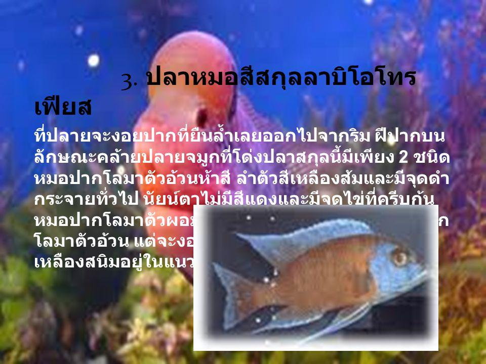 4.ปลาหมอสีสกุลโคพาได โครมิส สมาชิกของปลาสกุลนี้รูปร่างแตกต่าง กันไปตามชนิด ในช่วงนอกฤดูสมพันธุ์วางไข่ การหากินรวมกันเป็นฝูง ใหญ่ อาหารหลัก คือ แพลก์งตอนพืชและแพลก์งตอน สัตว์ ดังนั้น ปากของมันจึงพัฒนาให้เหมาะสมต่อการจับ อาหารที่มีขาดเล็ก โดยริมฝีปากบนและล่างเชื่อมติดกัน มีลักษณะคล้ายท่อ ซึ่งสามารถยืดและหดได้ ชนิดปลา ในสกุลนี้ อาทิ หมอบอร์เลยี คาดันโก จุดเด่นของปลา หมอบอร์เลยี อยู่ที่ครีบตะเกียบที่มีปลายยาวเรียวเป็น สายรยางค์ ครีบหางมีขนาดใหญ่ปลายเว้าไม่ลึก ครีบหู บางและโปร่งใสจนเห็นก้านครีบชัดเจน ลักษณะของสี แตกต่างกันไปตามท้องถิ่นที่อยู่อาศัย