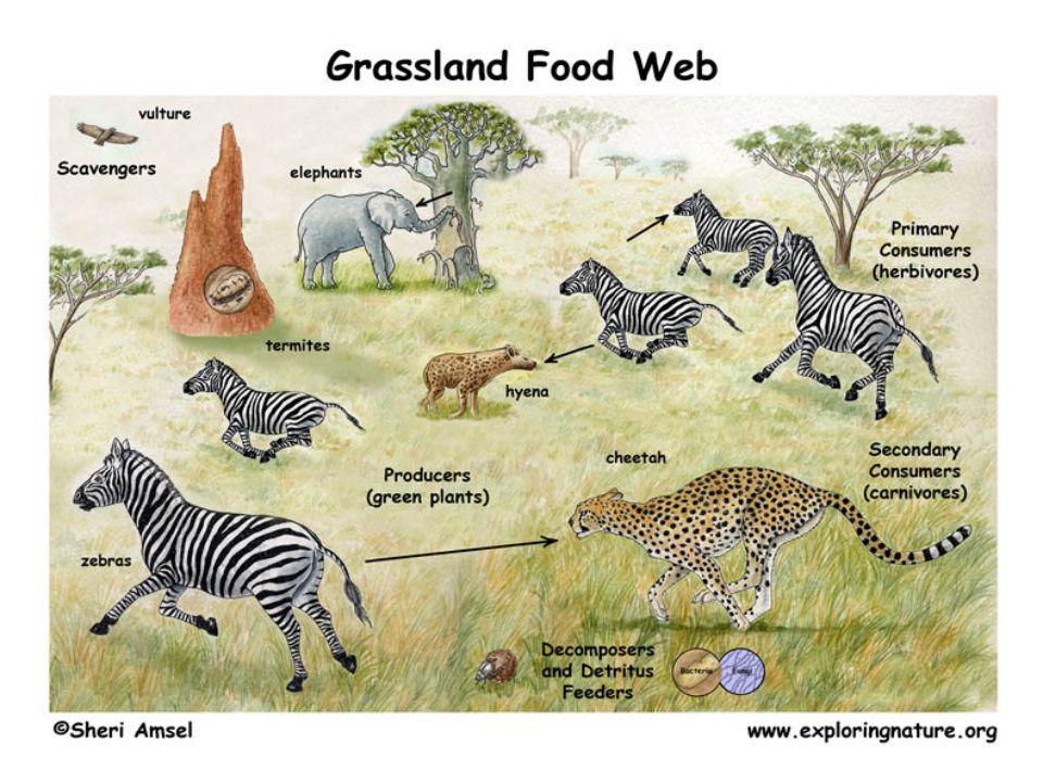 บรรณานุกรม  http://www.thaigoodview.c om/node/16425  http://www.thaigoodview.com/library/cont est2551/science03/26/2/ecology/content/fo od_chain.html  http://student.nu.ac.th/u46410197/less on%205.htm