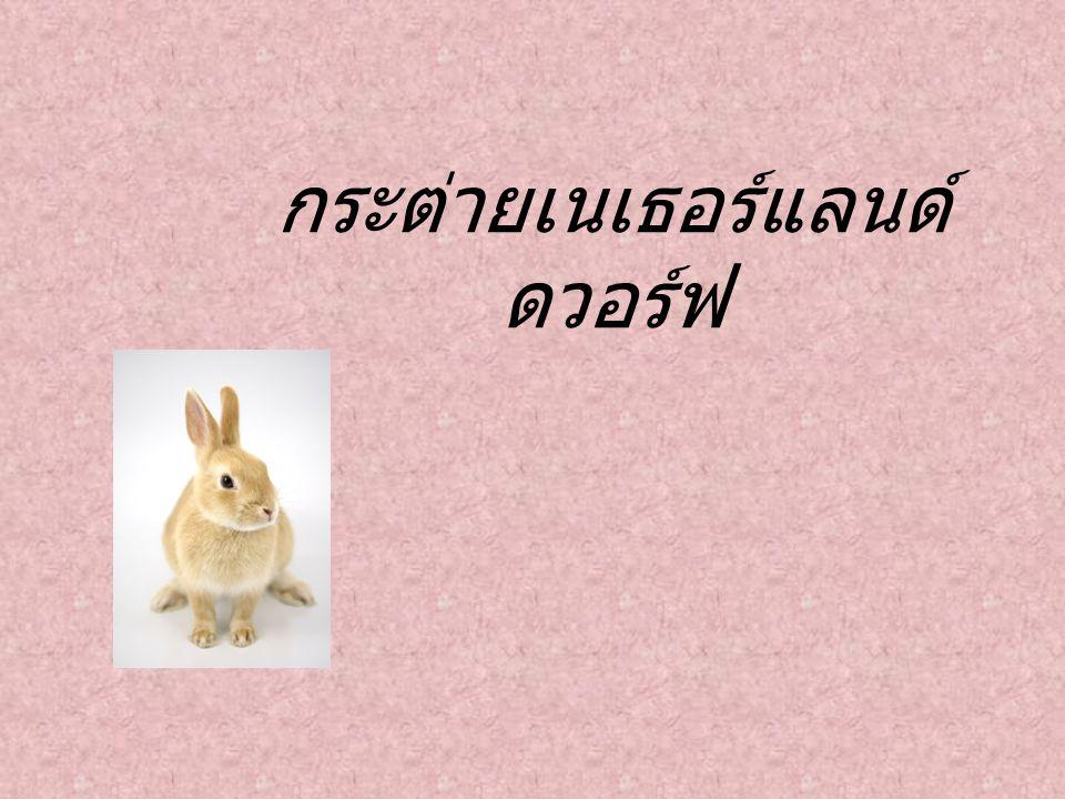 กระต่ายหูตั้งแสนซน พันธุ์ เนเธอร์แลนด์ ดวอร์ฟ Netherland Dwarf เรียกกันสั้น ๆ ว่า ND