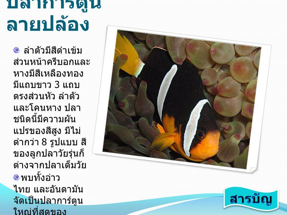 ปลาการ์ตูน ลายปล้อง ลำตัวมีสีดำเข้ม ส่วนหน้าครีบอกและ หางมีสีเหลืองทอง มีแถบขาว 3 แถบ ตรงส่วนหัว ลำตัว และโคนหาง ปลา ชนิดนี้มีความผัน แปรของสีสูง มีไม
