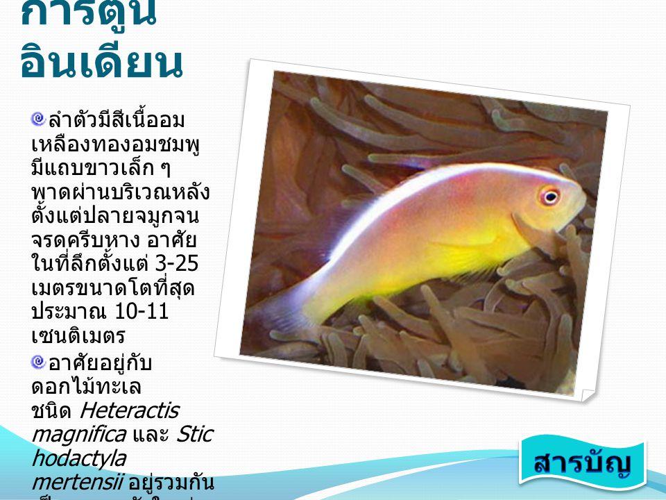 ปลา การ์ตูน อินเดียน ลำตัวมีสีเนื้ออม เหลืองทองอมชมพู มีแถบขาวเล็ก ๆ พาดผ่านบริเวณหลัง ตั้งแต่ปลายจมูกจน จรดครีบหาง อาศัย ในที่ลึกตั้งแต่ 3-25 เมตรขนา