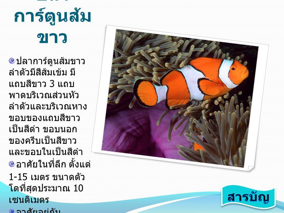 ปลา การ์ตูนส้ม ขาว ปลาการ์ตูนส้มขาว ลำตัวมีสีส้มเข้ม มี แถบสีขาว 3 แถบ พาดบริเวณส่วนหัว ลำตัวและบริเวณหาง ขอบของแถบสีขาว เป็นสีดำ ขอบนอก ของครีบเป็นสี