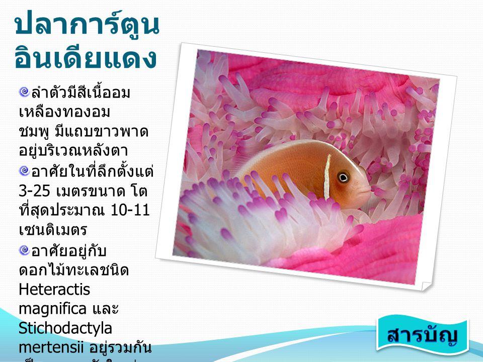 ปลาการ์ตูน อินเดียแดง ลำตัวมีสีเนื้ออม เหลืองทองอม ชมพู มีแถบขาวพาด อยู่บริเวณหลังตา อาศัยในที่ลึกตั้งแต่ 3-25 เมตรขนาด โต ที่สุดประมาณ 10-11 เซนติเมต