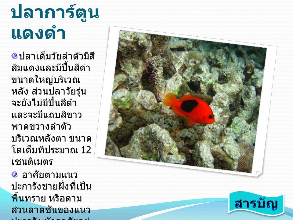 ปลาการ์ตูน แดงดำ ปลาเต็มวัยลำตัวมีสี ส้มแดงและมีปื้นสีดำ ขนาดใหญ่บริเวณ หลัง ส่วนปลาวัยรุ่น จะยังไม่มีปื้นสีดำ และจะมีแถบสีขาว พาดขวางลำตัว บริเวณหลัง