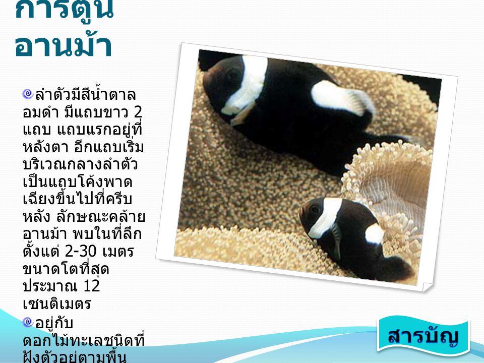 ปลา การ์ตูน อานม้า ลำตัวมีสีน้ำตาล อมดำ มีแถบขาว 2 แถบ แถบแรกอยู่ที่ หลังตา อีกแถบเริ่ม บริเวณกลางลำตัว เป็นแถบโค้งพาด เฉียงขึ้นไปที่ครีบ หลัง ลักษณะค