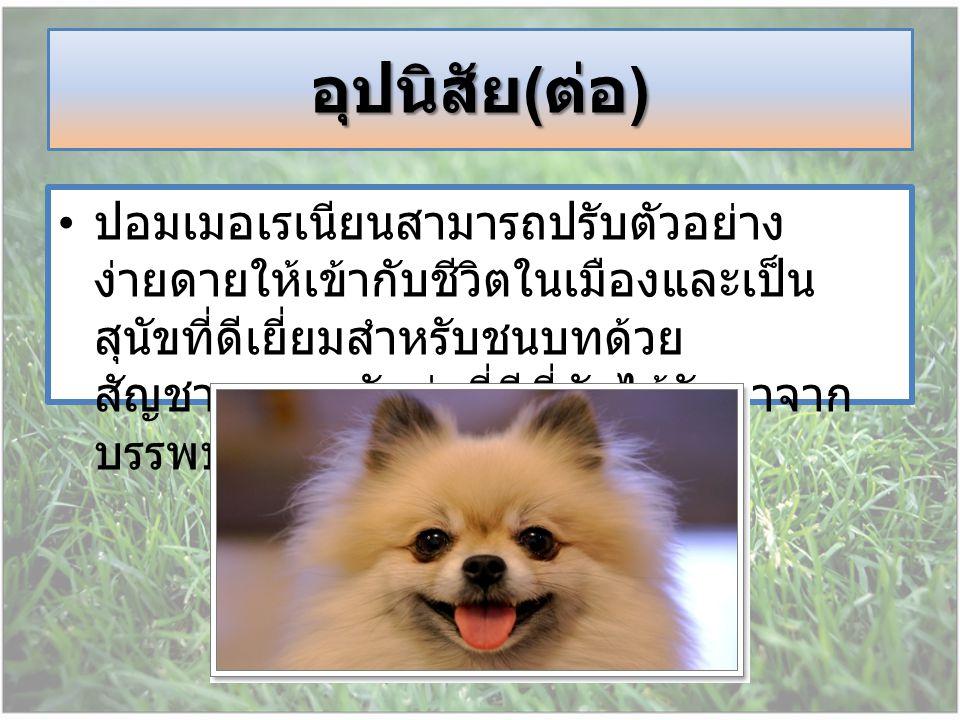 ปอมเมอเรเนียนสามารถปรับตัวอย่าง ง่ายดายให้เข้ากับชีวิตในเมืองและเป็น สุนัขที่ดีเยี่ยมสำหรับชนบทด้วย สัญชาตญาณนักล่าที่ดีที่มันได้รับมาจาก บรรพบุรุษของ